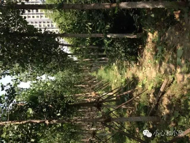 爆炸区附近的防护林